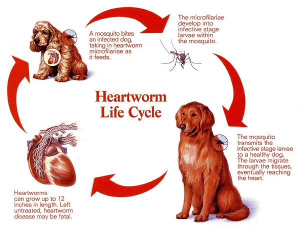 All About Heartworm The Scariest Worm Brandon Park Veterinary