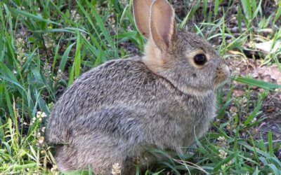 Bunny blues: urine scald in rabbits