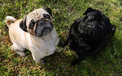 Flat-Faced Breeds and the Heat